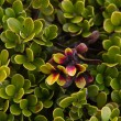 Bearberry Plant and leaves — Stock Photo #28687535