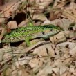 图库视频影像: Green Lizard on Oak Forest ( 3 cuts )