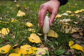 Picking Mushroom Coprinus Comatus — Stock Photo