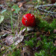 champignon amanita muscaria — Photo