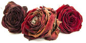 Life of red roses — Stock Photo