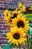 Sonnenblumen und ziegel — Stockfoto