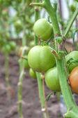 Growing tomatoes in garden — Stock Photo