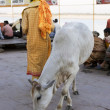 VARANASI, INDIA - MAY 15: Unidentified indian priest with cow ne — Stock Photo