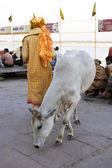 Varanasi, india - 15 de mayo: sacerdote indio no identificado con vaca ne — Foto de Stock