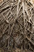 Tropical banyan tree roots texture  — Stock Photo