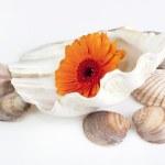 Gerbera daisy in seashell — Stock Photo