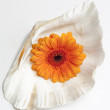Gerbera daisy in seashell — Stock Photo
