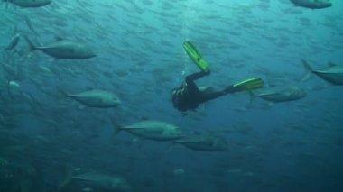 Huge scholl of Bigeye trevally (Caranx sexfasciatus) with a diver — Stock Video