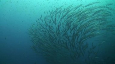 Giant school of barracuda creates a circle — Stock Video