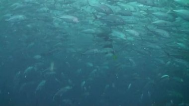 Huge scholl of Bigeye trevally (Caranx sexfasciatus) with a diver — Stock Video