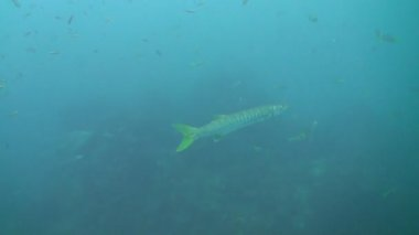 Great barracuda (Sphyraena barracuda) — Stock Video