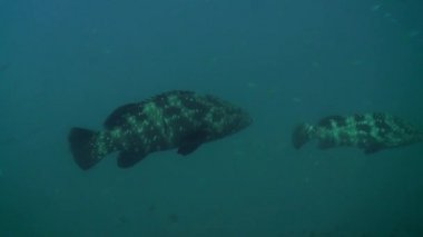 Two Giant grouper — Stock Video