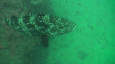 Giant grouper — Stock Video
