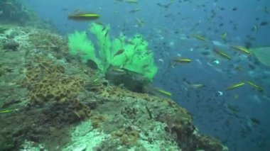 Giant grouper and lots of fish — Stock Video