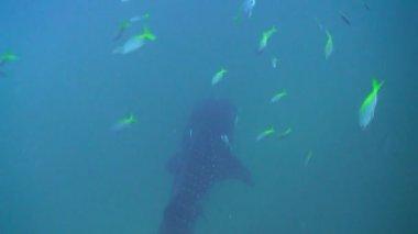 Whale shark — Stock Video