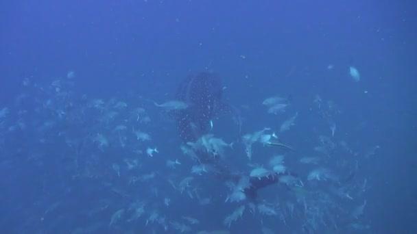 Requin-baleine — Vidéo
