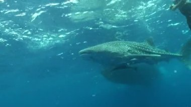 Whale shark — Stock Video