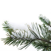 Snow and Christmas tree on white background — Foto Stock