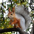 Red squirrel eating on the tree — Stock Photo