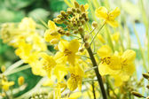 Close up of oilseed rape blossom — Stock Photo