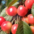 Ripening cherries on tree. Selective focus - Stock Photo