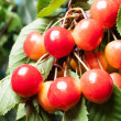 Stock Photo: Ripening cherries on tree. Selective focus
