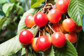 Ripening cherries on tree. Selective focus — Stock Photo