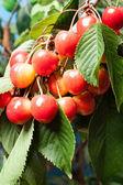 Ripening cherries on tree. Selective focus — Stock Photo