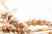 Close-up of wheat ears — Stock Photo