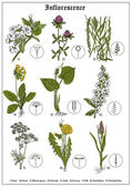 Inflorescence of pear, clover, wheat grass, primula, calla, prunus, dill, dandelion, dactylorhiza. Floral vector illustration — ストックベクタ
