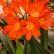 Foto de Stock  : Flowers of kaffir lilly, lily