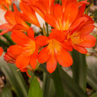Flowers of the kaffir lilly, lily — Stockfoto