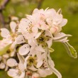 Snow pear, pyrus nivalis, blossoms — Stock Photo #24926877