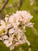 Snow pear, pyrus nivalis, blossoms — Stock Photo