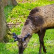 Стоковое фото: Juvenile deer roaming freely