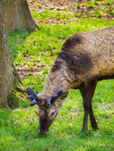 Juvenile deer roaming freely — Stock Photo
