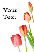 Tulip with text — Stock Photo