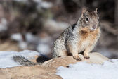 Wild squirrel at Grand Canyon rim — Stock Photo