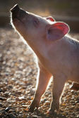 Piglet in the Morrning — Stock Photo