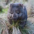 Stock Photo: Wombat in grassland