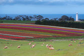 Tulip fields at Table Cape — Stock Photo