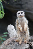 Inquisitive Meerkat — Stock Photo