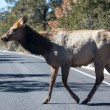 Mule Deer Crossing — Stock Photo