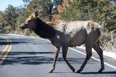 Mule Deer Crossing — Stock Photo