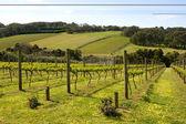 Vines in Summer — Stock Photo
