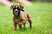 Playful Boxer Puppy — Stock Photo