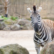 Stock Photo: Inquisitive zebra