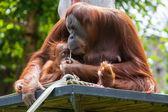 орангутанг мать с ребенком — Стоковое фото