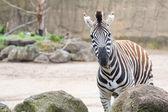 Inquisitive zebra — Stock Photo